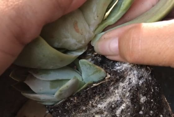 how to grow more succulents from cuttings