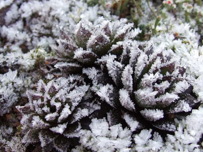 do you need to bring hens and chicks indoors