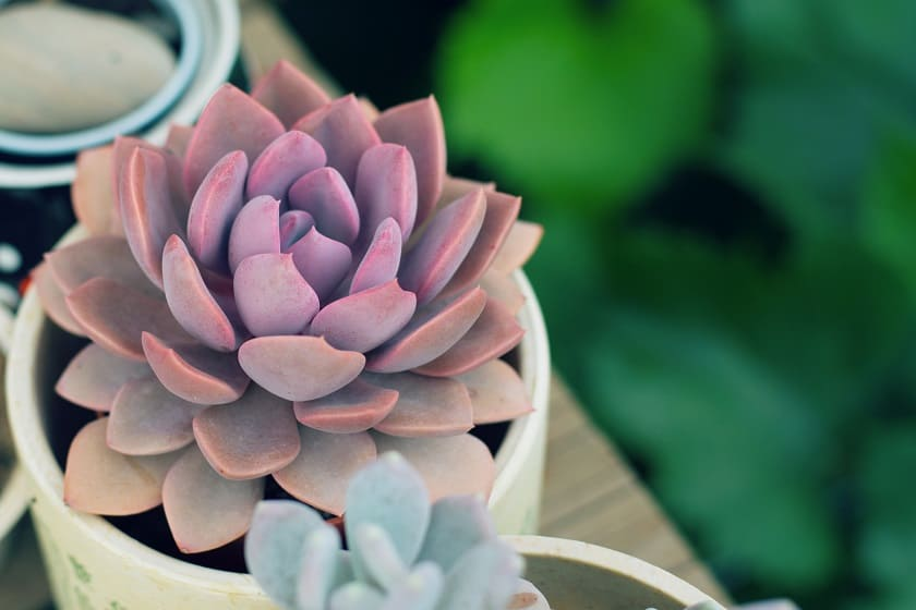 easy succulents to propagate