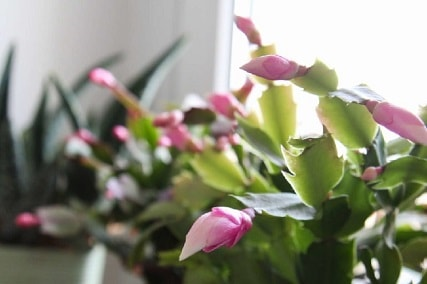 Is Christmas Cactus Toxic to Cats?