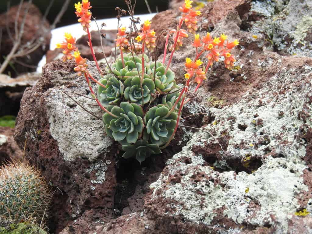can succulents grow in rocks without soil