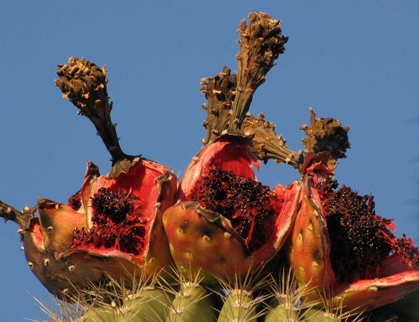 can you eat saguaro fruit