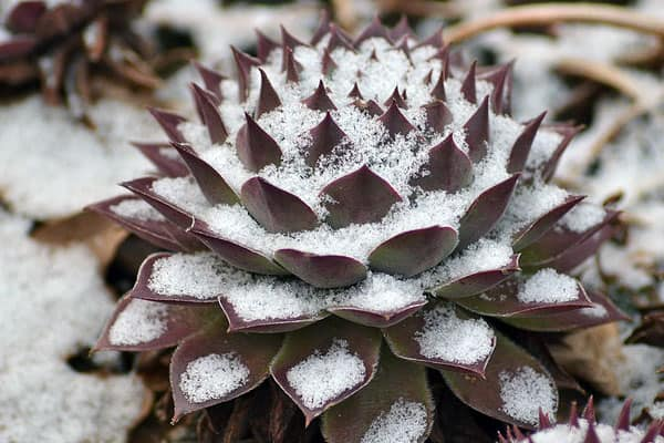 how cold can succulents tolerate