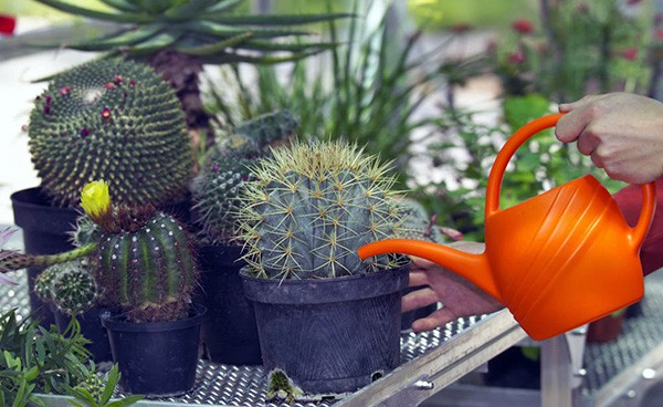 how often should you water cacti