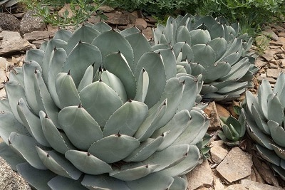 list of cold hardy succulents