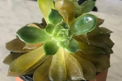 succulent leaves turning yellow and soft