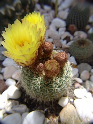 cactus that grows flowers