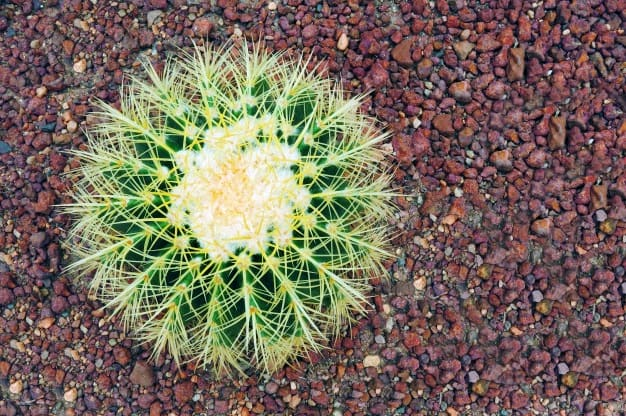 care for outdoor cactus