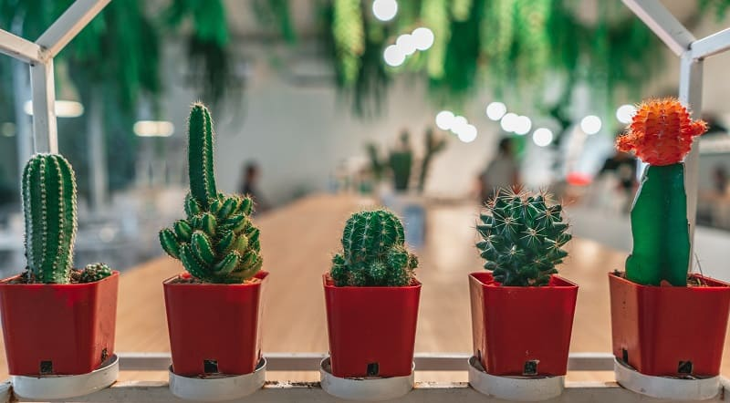 do mini cacti clean the air