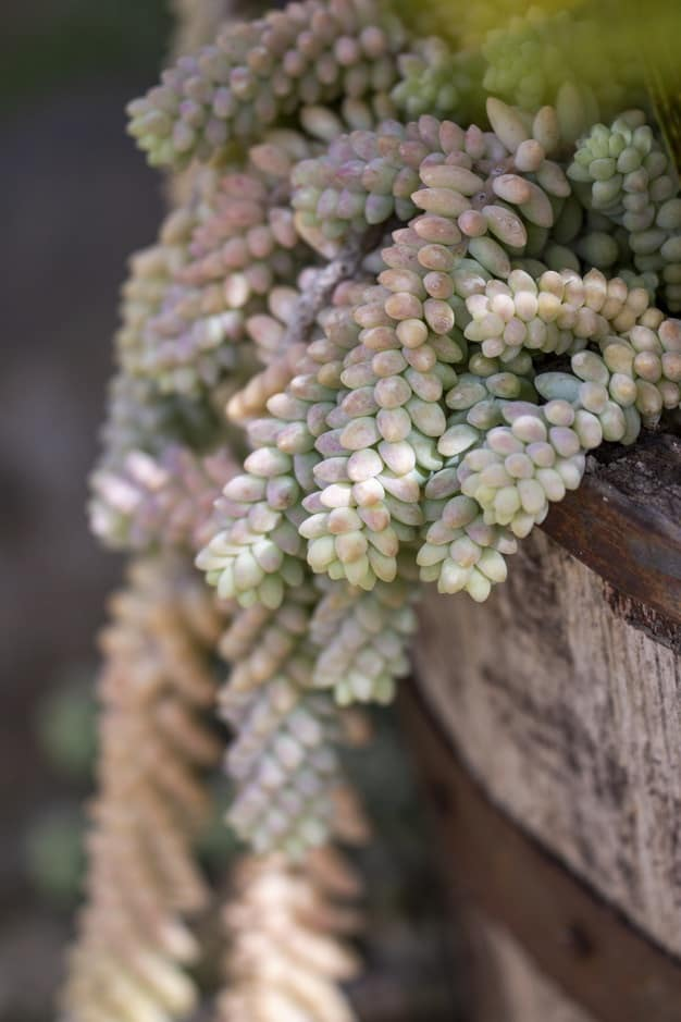 donkey tail succulent