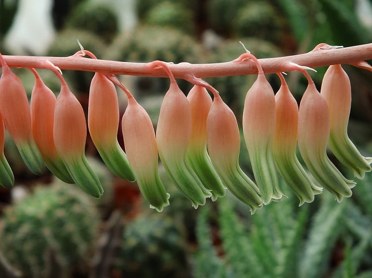 gasteria with flowers