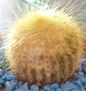 why is my cactus turning yellow