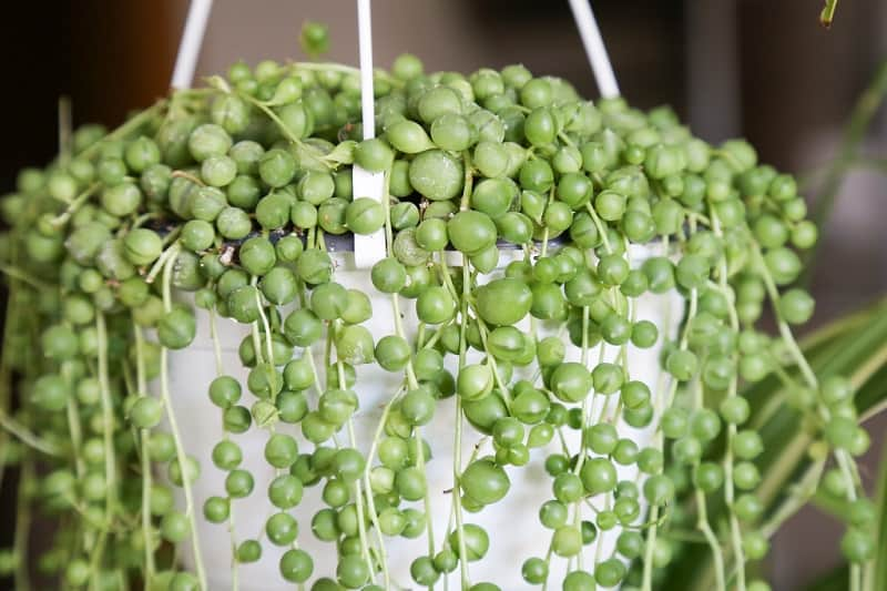 string of pearls succulent care
