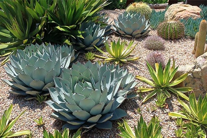 12 Varieties and Types of Agave Plants