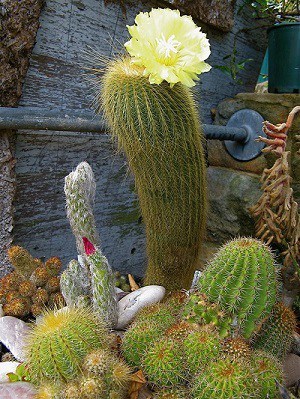 why do cacti have flowers