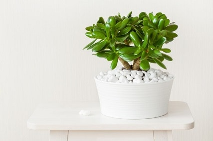 How to Care for Jade Plants: Crassula Ovata Care Guide