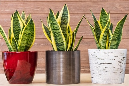 Sansevieria Care Guide: How to Care for Snake Plants