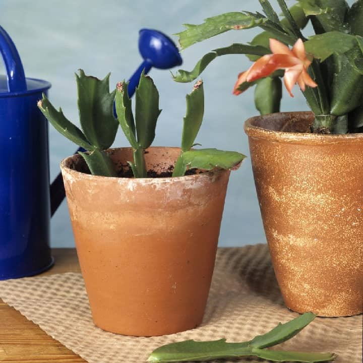 how to plant a christmas cactus cutting