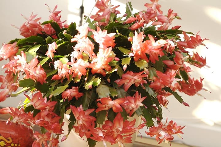how to start a Christmas cactus