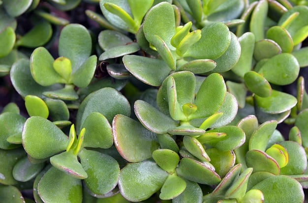how to start a jade plant