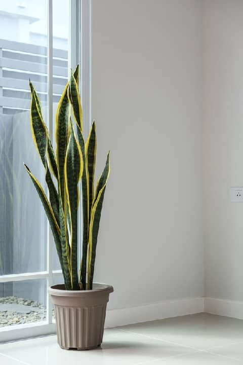 snake plant care indoors
