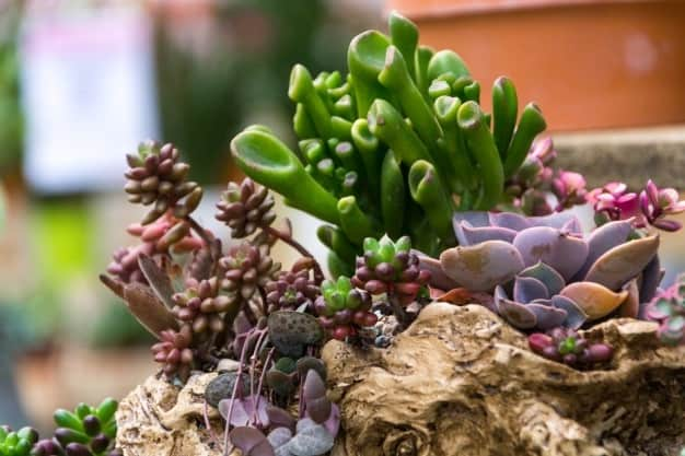 where do succulents grow