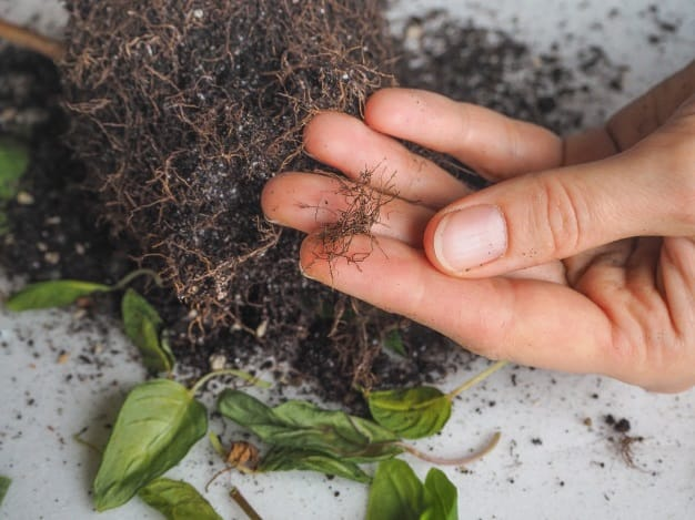 how to fix root rot in soil