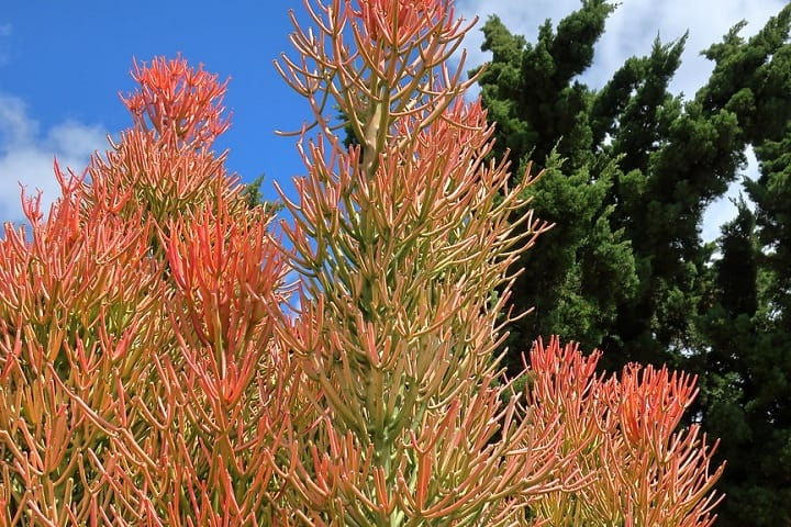 how to prune a firestick plant