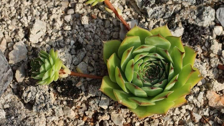 how to separate hens and chicks plants
