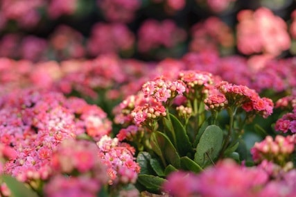 40+ Examples of Kalanchoe Lower Classifications