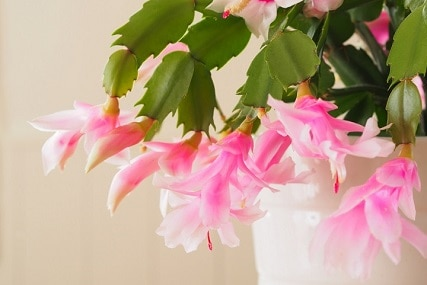 How to Take Care of Christmas Cactus