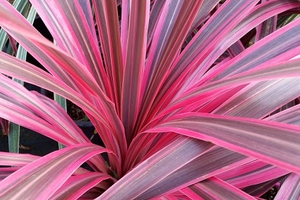 Sun Or Shade? Best Light Conditions For A Cordyline
